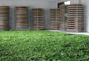 производство органического чая
