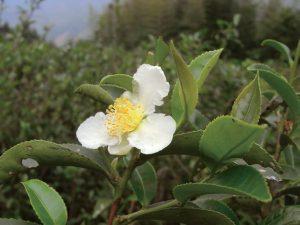высокогорный чайный сад в горах Цинцзинь и Ушэ