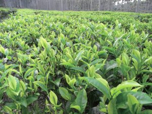 Органический сад рубинового чая на озере Sun Moon Lake