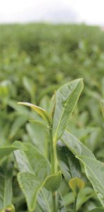 органический чайный куст
