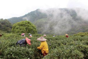 органический чайный сад