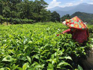 высокогорный тайваньский чай