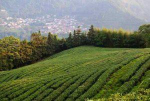 Чайный сад на высоте 1400 м.