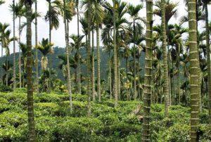 Чайные плантации врайоне озера Солнца и Луны - Sun Moon Lake