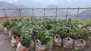 саженцы органического чая