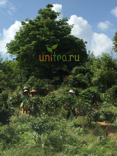 wild tea farm
